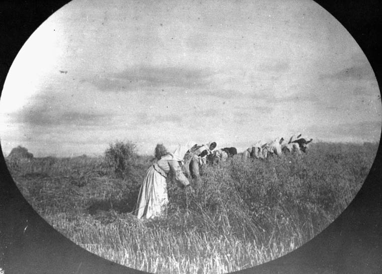 Doukhobor women of the Christian Community of Universal Brotherhood harvesting flax for fibre (pulling it up by the roots) (item 1)