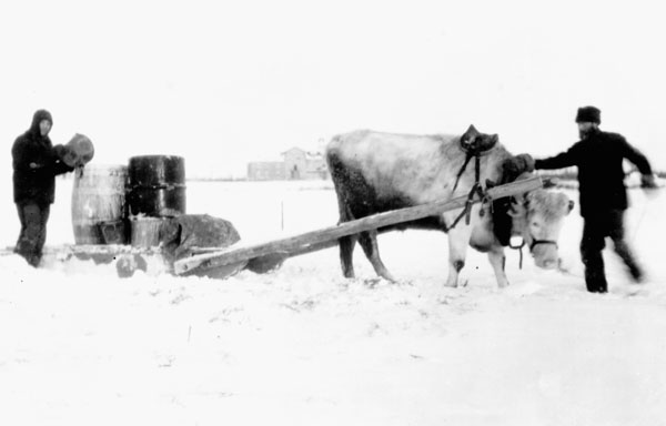 Fort Resolution Indian Residential School (St. Joseph's Convent), two men with an ox transporting water in the snow, date unknown