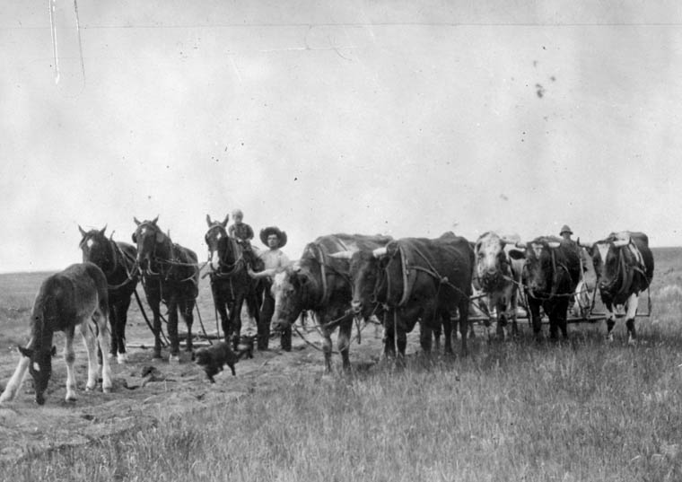 Roy Stinson is shown behind oxen, clearing land. McCord Disrict, South of LaFleche, Qubec. (item 1)