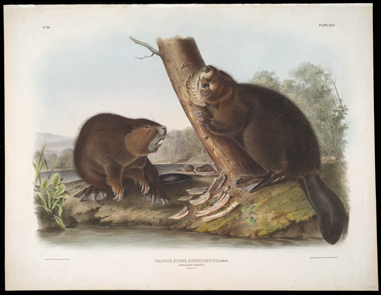 Image of two beavers, one gnawing on a tree, with the Latin caption Castor Fiber Americanus.