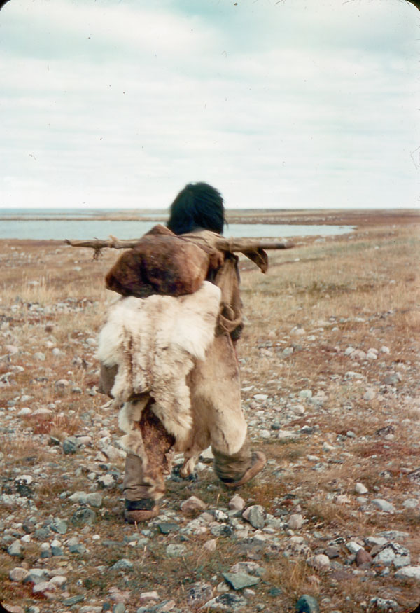 MIKAN 3839255 Inuk carrying heavy load on pole suspended from shoulders, crossing summer tundra.