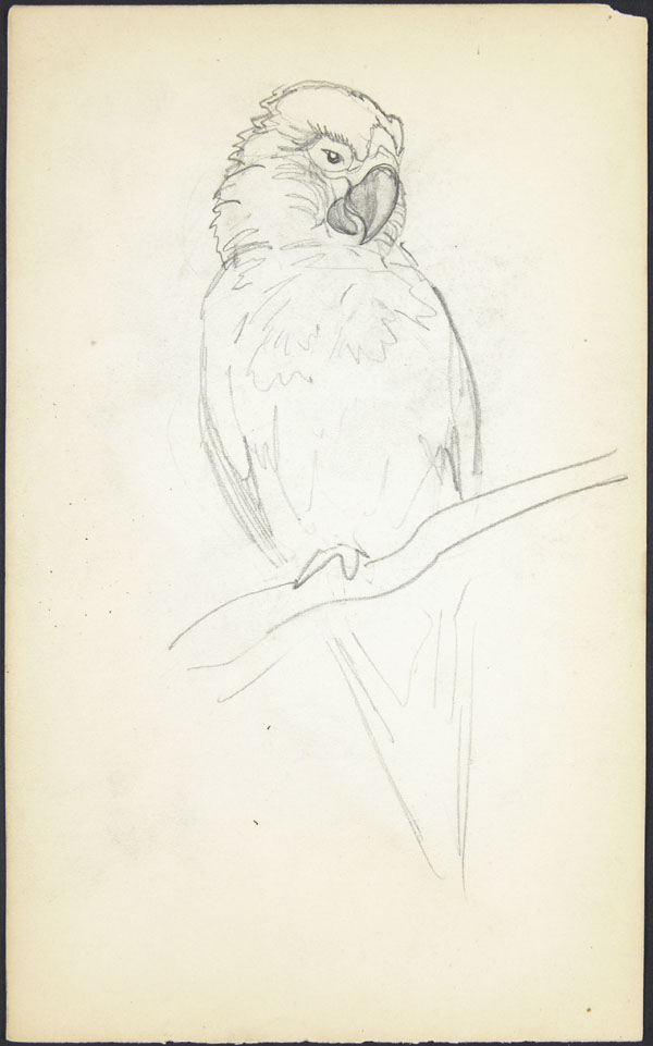 Sketch of a parrot perched on a branch, London Zoo