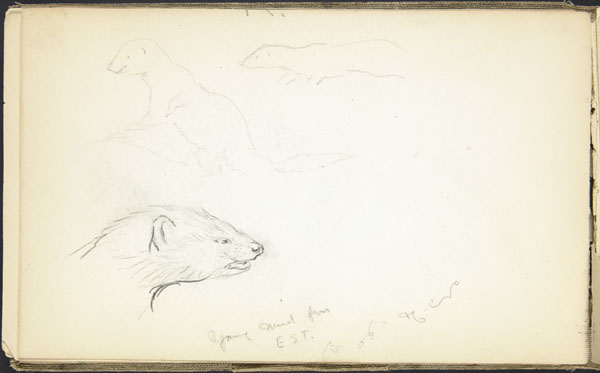 Sketches of a young mink, London Zoo