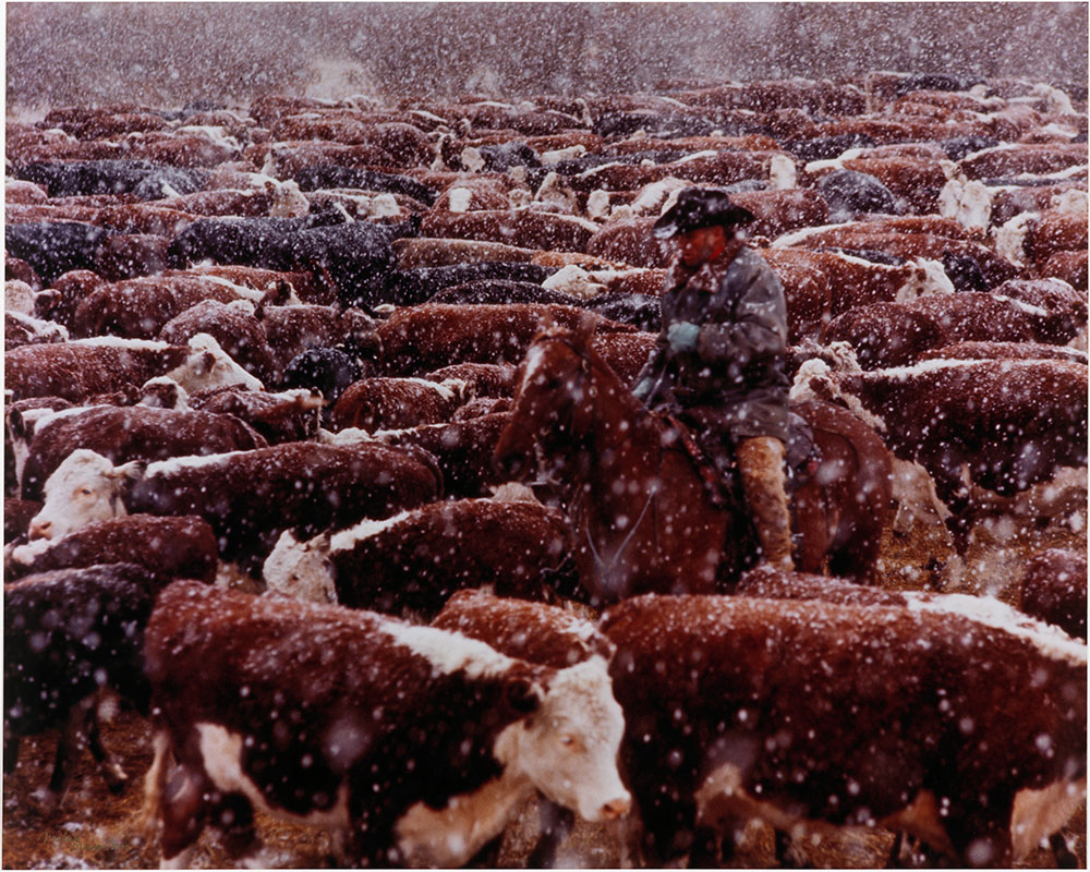 Photo of a cowboy on a horse in the middle of a herd of cows. It is snowing.
